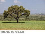 La Serena pastures on springtime, Benquerencia, Extremadura, Spain... Стоковое фото, фотограф Juan García Aunión / easy Fotostock / Фотобанк Лори