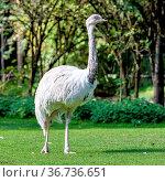 The emu, Dromaius novaehollandiae is the second-largest living bird... Стоковое фото, фотограф Zoonar.com/Rudolf Ernst / easy Fotostock / Фотобанк Лори
