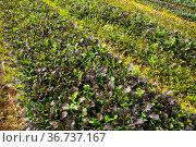 Red leaf mustard plantation. Стоковое фото, фотограф Яков Филимонов / Фотобанк Лори