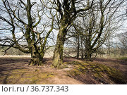 Grove of mature beech trees (Fagus sylvatica) growing on old lead-mining area, Mendips AONB, Somerset, UK, April, 2021. Стоковое фото, фотограф John Waters / Nature Picture Library / Фотобанк Лори
