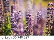 Bush Of Wild Flowers Lupine In Summer Field Meadow At Sunset Sunrise... Стоковое фото, фотограф Ryhor Bruyeu / easy Fotostock / Фотобанк Лори