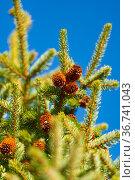 Evergreen branches of spruce tree with needles, pine cones. Стоковое фото, фотограф А. А. Пирагис / Фотобанк Лори