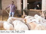 African american male farmer feeding hay to sheeps at farm. Стоковое фото, фотограф Яков Филимонов / Фотобанк Лори