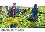 Young farmer stacking boxes with celery. Стоковое фото, фотограф Яков Филимонов / Фотобанк Лори