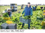 Man carrying crate with celery. Стоковое фото, фотограф Яков Филимонов / Фотобанк Лори