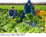 Two men carrying crates with harvested celery. Стоковое фото, фотограф Яков Филимонов / Фотобанк Лори