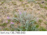 Aleli de Mahon (Malcolmia littorea) is a perennial plant native to... Стоковое фото, фотограф J M Barres / age Fotostock / Фотобанк Лори