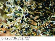 Olive tree branches on sky background. Стоковое фото, фотограф Яков Филимонов / Фотобанк Лори