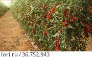 Plantation of red organic tomatoes in glasshouse. Cherry tomatoes ripening in clusters. Harvest time. Стоковое видео, видеограф Яков Филимонов / Фотобанк Лори