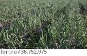 Rows of green onions growing on large plantation with polyethylene mulch on soil. Стоковое видео, видеограф Яков Филимонов / Фотобанк Лори