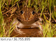 Wide mouthed burrowing frog (Cyclorana novaehollandiae) sitting in marginal vegetation in shallow pond, large carnivorous species that preys on other frogs, Dalby, Queensland, Australia. Стоковое фото, фотограф Bruce Thomson / Nature Picture Library / Фотобанк Лори
