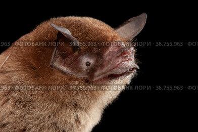 Mustache bat (Pteronotus parnellii) portrait, Yucatan Peninsula, Mexico.