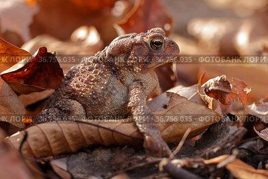 American toad (Anaxyrus americanus) in leaf litter, Maryland, USA. November.