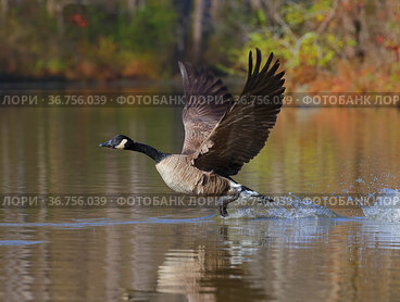 Canada goose (Branta canadensis) taking off from water, Maryland, USA. December.