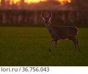 Roe Deer (Capreolus capreolus) doe in early spring, UK. March. Стоковое фото, фотограф Andy Rouse / Nature Picture Library / Фотобанк Лори