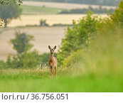 Roe Deer (Capreolus capreolus) doe in habitat, Wiltshire, UK. July. Стоковое фото, фотограф Andy Rouse / Nature Picture Library / Фотобанк Лори