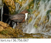 Dipper (Cinclus cinclus) on rock in river, with food in its bill, Wales, UK. May. Стоковое фото, фотограф Andy Rouse / Nature Picture Library / Фотобанк Лори