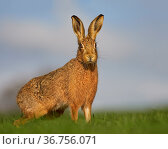 European Hare (Lepus europaeus) portrait in morning light, UK. Стоковое фото, фотограф Andy Rouse / Nature Picture Library / Фотобанк Лори