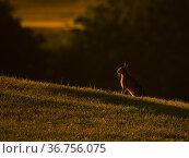 European Hare (Lepus europaeus) in morning light, UK. June. Стоковое фото, фотограф Andy Rouse / Nature Picture Library / Фотобанк Лори
