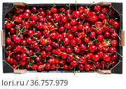 Freshly picked red ripe cherry in boxes. Стоковое фото, фотограф Яков Филимонов / Фотобанк Лори