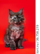 Cute little kitten of Gentle giants with furry fur of color black smoke sitting on red background. Стоковое фото, фотограф А. А. Пирагис / Фотобанк Лори