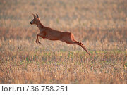 Roe deer (Capreolus capreolus) female in a stubble field, running. Yonne, Burgundy, France August. Стоковое фото, фотограф Cyril Ruoso / Nature Picture Library / Фотобанк Лори