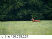 Roe deer (Capreolus capreolus) buck running in a meadow, Yonne, Burgundy, France. Стоковое фото, фотограф Cyril Ruoso / Nature Picture Library / Фотобанк Лори
