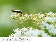Чёрный жучок сидит на белом цветке. Стоковое фото, фотограф Игорь Низов / Фотобанк Лори