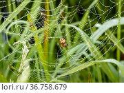 Паук сидит на паутине покрытой росой. Стоковое фото, фотограф Игорь Низов / Фотобанк Лори