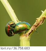 Зелёный жук. Бронзовка золотистая занимается любовью. Стоковое фото, фотограф Игорь Низов / Фотобанк Лори