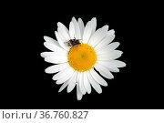 Die Nahaufnahme und Draufsicht auf die weiße Blüte eines Gänseblümchens... Стоковое фото, фотограф Zoonar.com/Bastian Kienitz / easy Fotostock / Фотобанк Лори