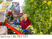 Plantation workers picking apples. Стоковое фото, фотограф Яков Филимонов / Фотобанк Лори
