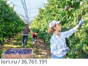 Woman gardener during harvesting of plums at plantation. Стоковое фото, фотограф Яков Филимонов / Фотобанк Лори