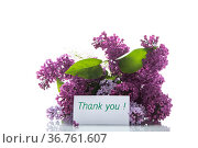 bouquet of different blooming spring lilacs on white background. Стоковое фото, фотограф Peredniankina / Фотобанк Лори