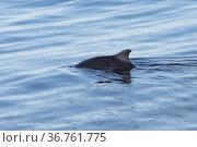 Dwarf Sperm whale (Kogia sima) at surface, Sea of Cortez, Gulf of California, Baja California, Mexico, February. Стоковое фото, фотограф Mark Carwardine / Nature Picture Library / Фотобанк Лори