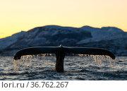 Humpback whale (Megaptera novaeangliae) showing tail fluke as it dives. Kvanangen, Troms, Norway. December. Стоковое фото, фотограф Espen Bergersen / Nature Picture Library / Фотобанк Лори