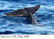 Short-finned pilot whale (Globicephala macrorhynchus) fluke on surface, whale diving. Tenerife, Canary Islands. Стоковое фото, фотограф Sergio Hanquet / Nature Picture Library / Фотобанк Лори