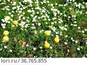 Eine Wildwiese mit verschiedenen Blumen, wie Löwenzahn und Gänseblumen... Стоковое фото, фотограф Zoonar.com/Bastian Kienitz / easy Fotostock / Фотобанк Лори