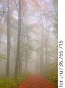 Buchenwald im Nebel - beech forest in fog 06. Стоковое фото, фотограф Zoonar.com/LIANEM / easy Fotostock / Фотобанк Лори