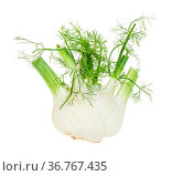 Ripe Florence fennel stalk with green foliage isolated on white background... Стоковое фото, фотограф Zoonar.com/Valery Voennyy / easy Fotostock / Фотобанк Лори