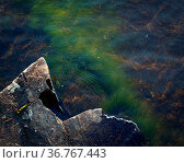 Green grass plant growing underwater on bedrock in lake. Стоковое фото, фотограф Zoonar.com/JuhaniViitanen / easy Fotostock / Фотобанк Лори