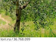 Olivenbaum Stamm - olive tree trunk 21. Стоковое фото, фотограф Zoonar.com/Liane Matrisch / easy Fotostock / Фотобанк Лори