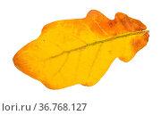 Fallen yellow oak leaf isolated on white background. Стоковое фото, фотограф Zoonar.com/Valery Voennyy / easy Fotostock / Фотобанк Лори