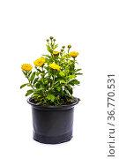 Цветы хризантемы в горшке на белом фоне. Стоковое фото, фотограф V.Ivantsov / Фотобанк Лори