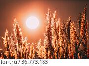 Beautiful Dry Grass In Sunset Sunlight. Sun Rising Above Wild Plant... Стоковое фото, фотограф Ryhor Bruyeu / easy Fotostock / Фотобанк Лори