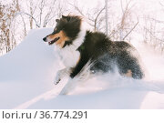 Funny Young Shetland Sheepdog, Sheltie, Collie Fast Running Outdoor... Стоковое фото, фотограф Ryhor Bruyeu / easy Fotostock / Фотобанк Лори