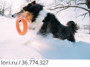 Funny Young Shetland Sheepdog, Sheltie, Collie Playing With Ring Toy... Стоковое фото, фотограф Ryhor Bruyeu / easy Fotostock / Фотобанк Лори