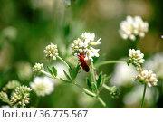 Die Nahaufnahme eines Roten Weichkäfers auf einer Blütendolde vom... Стоковое фото, фотограф Zoonar.com/Bastian Kienitz / easy Fotostock / Фотобанк Лори