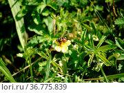 Die makro Nahaufnahme einer Igelfliege auf einer gelben Blüte. Стоковое фото, фотограф Zoonar.com/Bastian Kienitz / easy Fotostock / Фотобанк Лори