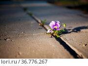 Violet flower growing in between stone paving close-up. Стоковое фото, фотограф Zoonar.com/Juhani Viitanen / easy Fotostock / Фотобанк Лори
